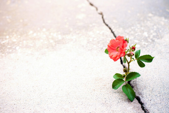 Rose flower growing from crack in the rod, hope and new growth in the middle of crisis, new life new hope