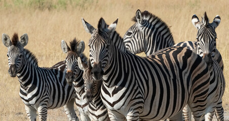 Tuinposter Zebra Zebras are found accross africa's national parks.