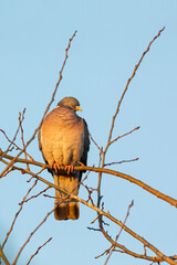 Common wood pigeon (Columba palumbus) sitting on a tree in early morning light.