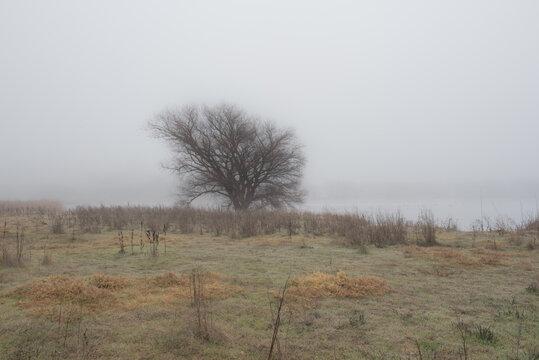 Lone oak tree in the fog, Vacaville, California, USA, Lagoon Valley park