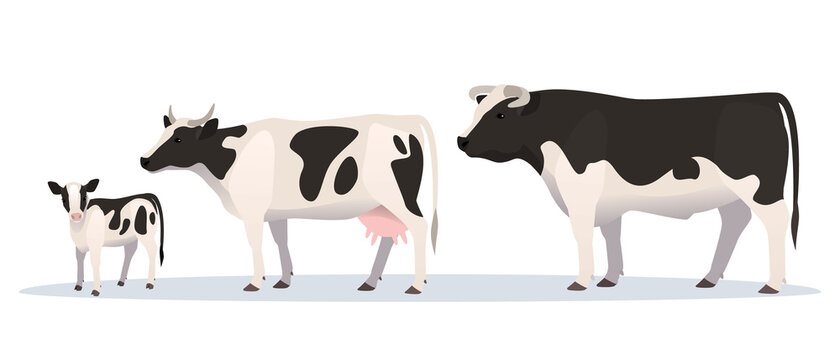 Vector illustration of bull, cow and calf. Farm animals family, adult and young.