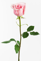 single pink rose on white background