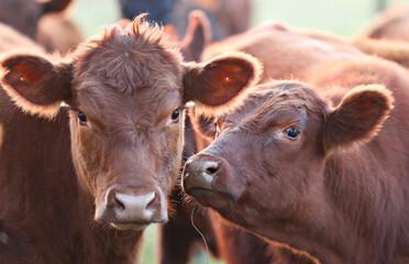 Cows are seen in a farm in a farm near Pergamino during the spread of the coronavirus disease (COVID-19) in Argentina