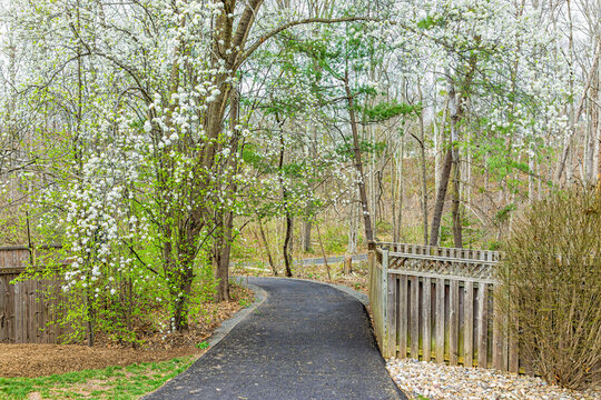Virginia spring cherry trees view in Fairfax County Northern VA on Sugarland Run Stream Valley Trail in Herndon with paved road path to forest in springtime