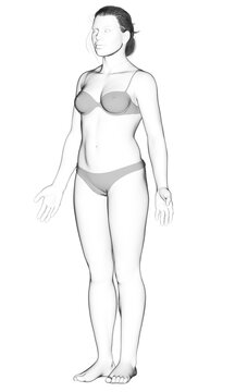 3d rendered illustration of the female body