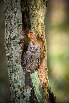 The Eurasian scops, Otus scops The bird is perched on the tree trunk in bright colored autumn forest Europe Czech Republic Pretty colorful contrasting backround with nice bokeh orange oak leaves..