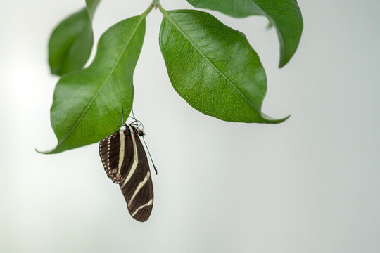 Zebra longwing butterfly (heliconius charithonia) hanging upside down on a leaf (ficus) in a summer garden. In the amazone rainforest in South America. Presious Tropical butterfly.