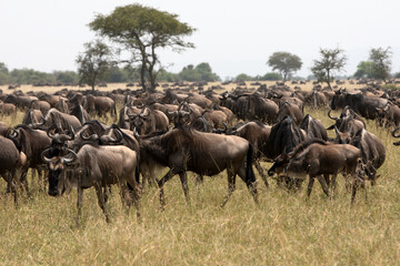 A herd of wildebeest, also called the gnu, is an antelope seen here in Serengeti national park, Tanzania. Wall mural