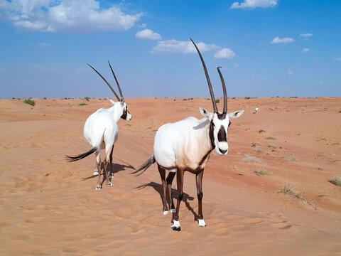 Arabian oryx in desert