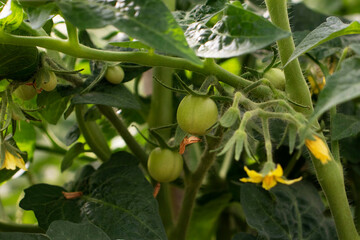 green tomatoes and yellow flowers on branches in a greenhouse