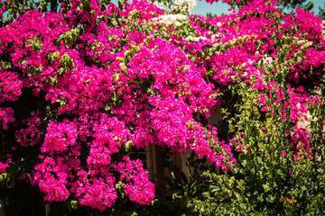 Closeup of colorful flowers growing in the public garden of the city of Nicosia, capital of Cyprus