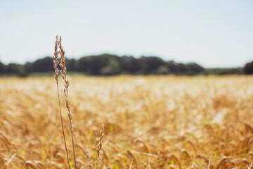 einzelne Weizenähre im Vordergrund vor unscharfem Hintergrund