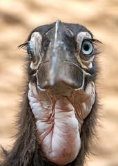 Photo sur Plexiglas Autruche close up shot of a young Southern ground hornbill (Bucorvus leadbeateri) in natural habitat