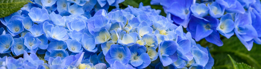 Foto op Canvas Hydrangea Classic blue hydrangea bushes blooming, as a nature background