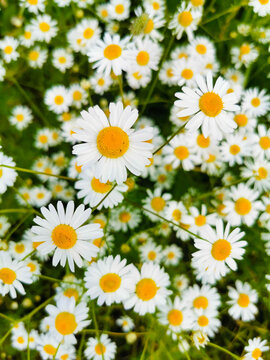 daisies in a garden
