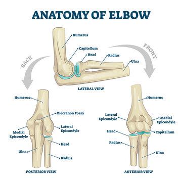 Anatomy of elbow skeletal bone structure labeled scheme vector illustration