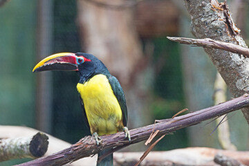 A green aracari (Pteroglossus viridis), is a type of toucan, a near-passerine bird, and is perched on a branch with its brightly colored bill in profile.