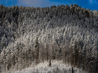 Synevirsky reserve forest at the top of winter mountain. Ukraine
