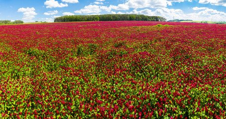Crimson clover field panorama