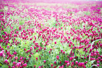 Crimson clover field