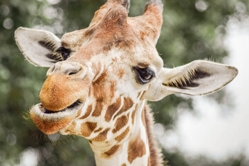 Fototapeta Close-up Of Giraffe obraz
