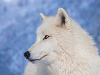 Portrait of a polar wolf on a blue background