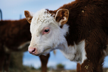 Wall Mural - Baby cow shows close up of Hereford calf face, beef industry for agriculture concept.