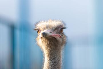 Photo sur Toile Autruche Ostrich bird front portrait on the farm blue background. Ostrich head and neck.