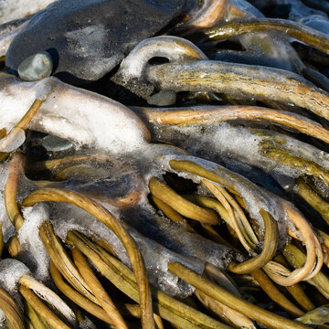 Washed ashore kelp frozen by sea spray