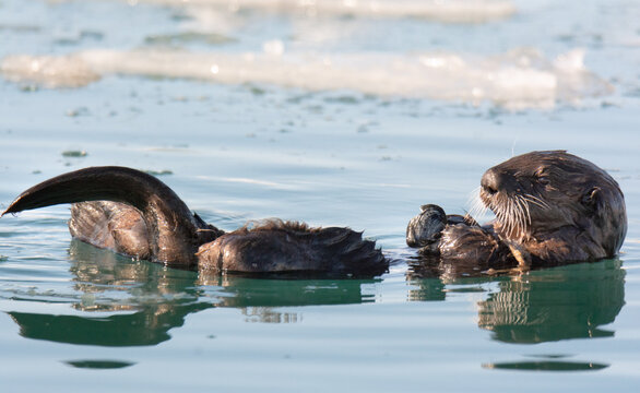 Sea otter with tail upraised looking like its reading a paper.nef
