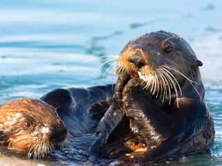 Sea Otter mother claps as her pup tries to climb on to her belly with mount open