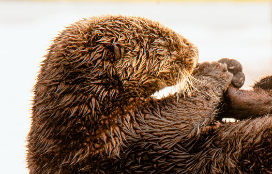 Head and arms of sea otter as it cleans itself