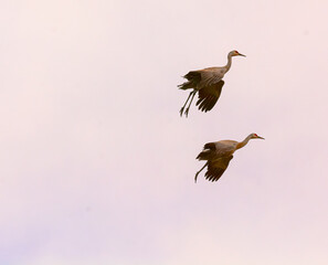 Two Sandhill Cranes with wings and feet down gliding in for landing