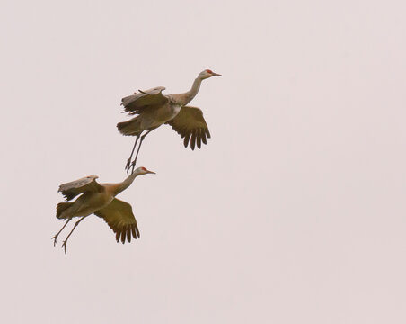 Two Sandhill cranes with wings spread wide and feet trailing
