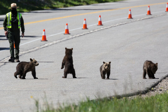 The famous grizzly bear 399 and her four cubs cross the road in Grand Teton National Park under safe watch by park rangers.