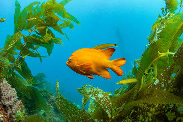 Fototapeta A Garibaldi, California's State Fish, Swimming In The Pacific Ocean Near Avalon, Catalina Island. obraz