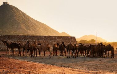 Photo sur Plexiglas Chameau Panoramic View Of Group Of Camels On Landscape Against Clear Sky
