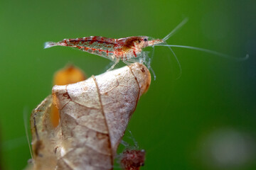 Close-up Of A Shrimp On Leaf In An Aquarium