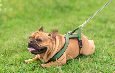 Photo of a French Bulldog in park