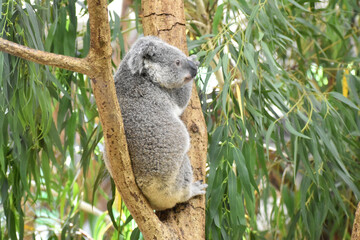Wall Murals Koala コアラ