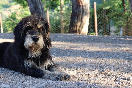 Bernedoodle dog