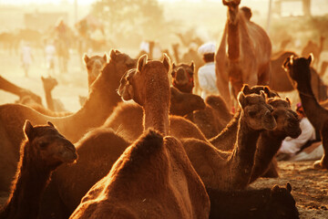 Camels can be seen all over the place at Pushkar fair. Traders and herders come with their camels from all over Rajasthan to take part in this annual affair