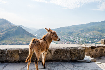 An animal little donkey stands on a cliff of a mountain and looks at the landscape of the mountains. Georgia, mountain landscape, Mtskheta. Jvari Monastery