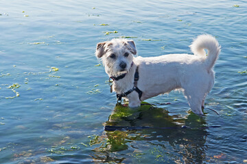 A small dog, a Jack Russell mix, stands in the waters of Buzzards Bay in Fairhaven, Massachusetts.