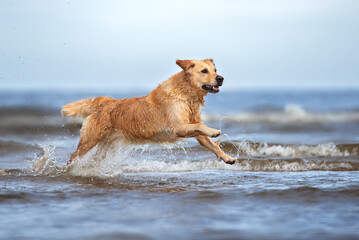 happy golden retriever dog running in the sea