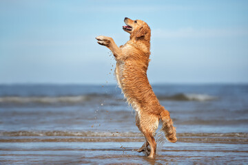 happy golden retriever dog begging on the beach in summer