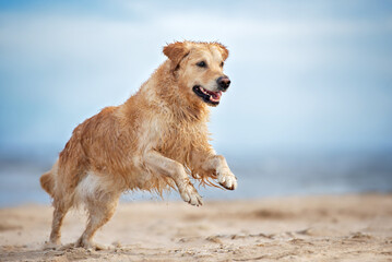 happy golden retriever dog running on the beach