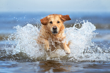 golden retriever dog jumping into water