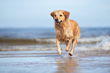 happy dog running on the sea beach