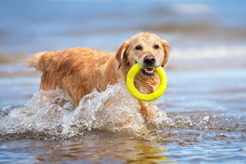 happy golden retriever dog fetching a toy ring from the sea